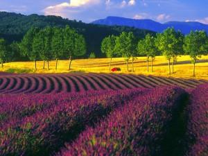 lavender-field-europa